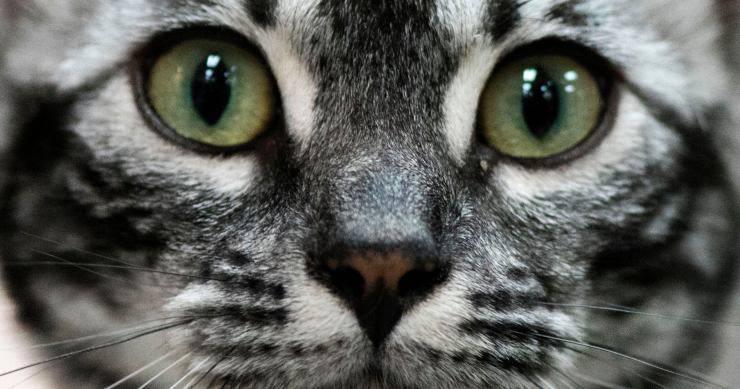 signora crema comune gatti