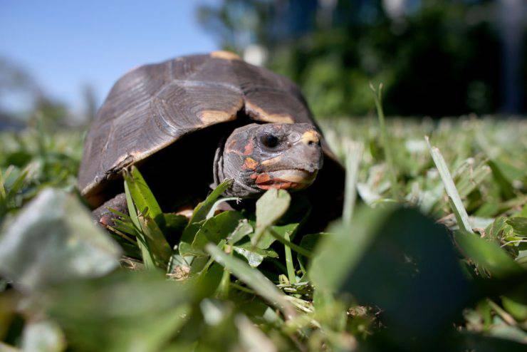 Tartaruga di terra (GettyImages)