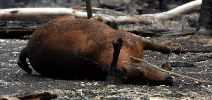 animali incendi australia