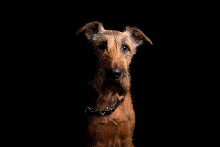 Irish terrier cucciolo