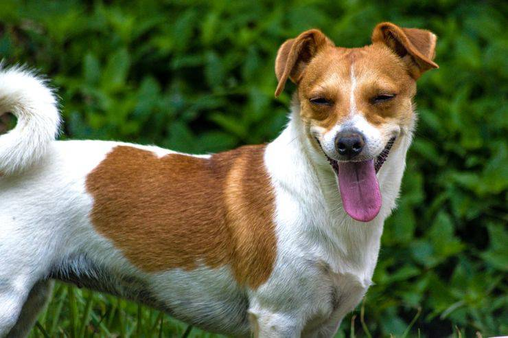 Jack russell terrier adulto