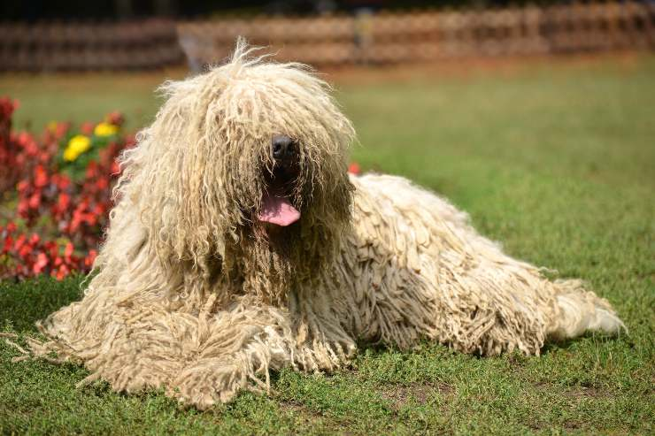 Komondor adulto