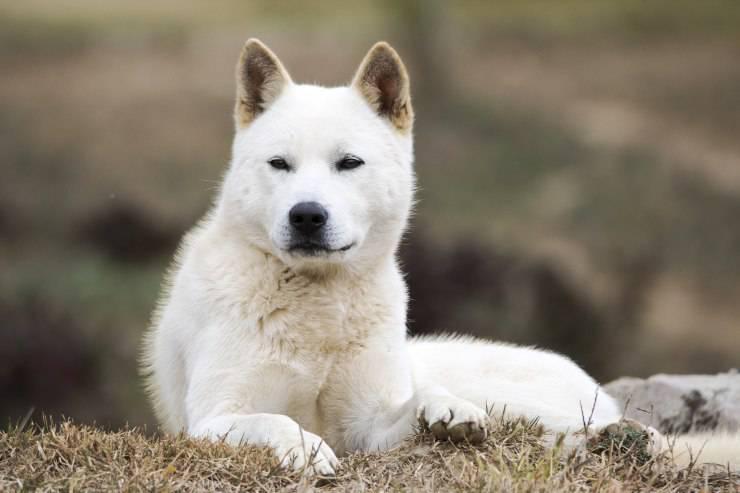 Korea Jindo Dog adulto