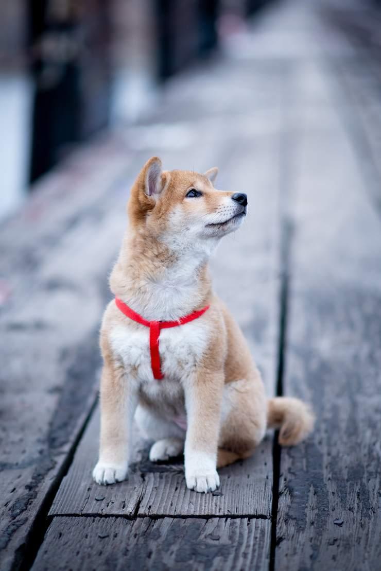 Korea Jindo Dog cucciolo