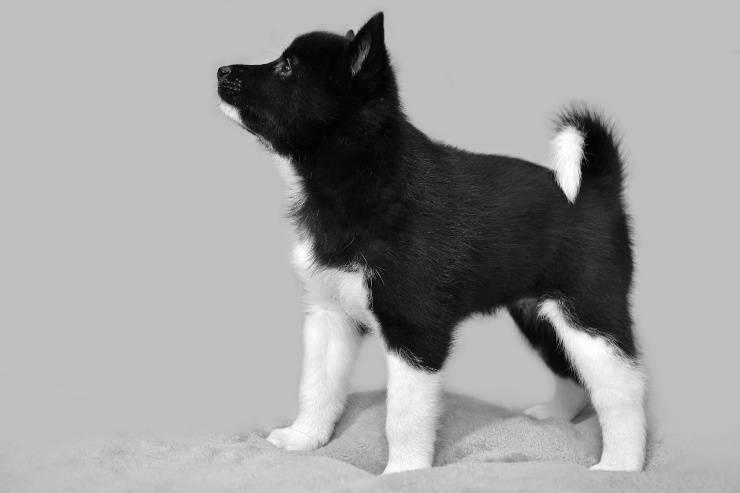 Laika russo-europeo cucciolo