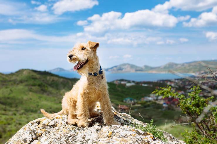Lakeland terrier adulto