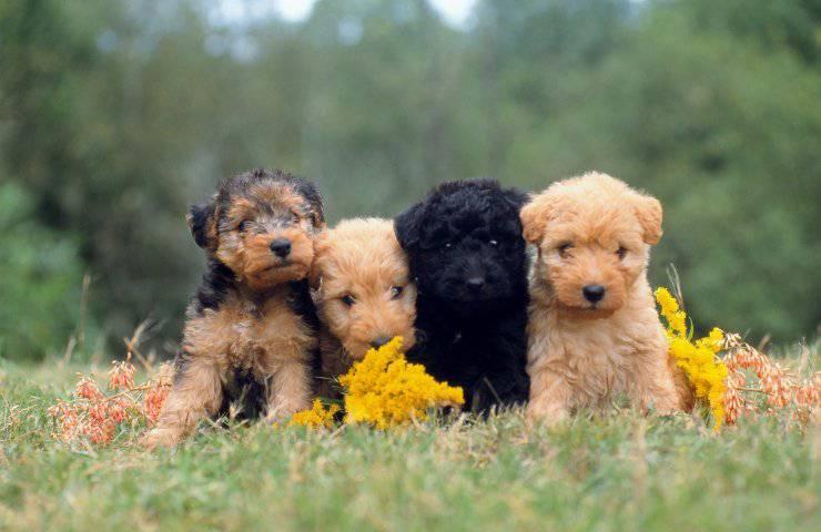 Lakeland terrier cucciolo