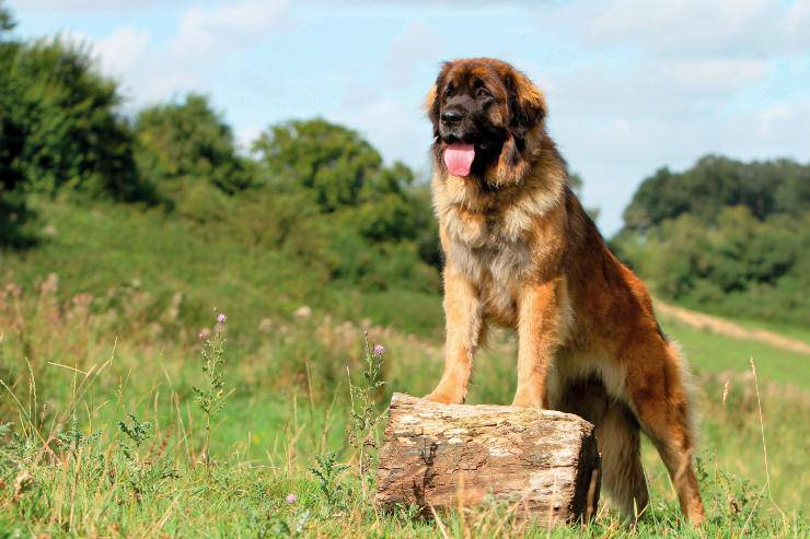 Leonberger adulto