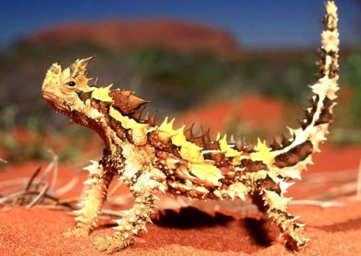 moloch australiano