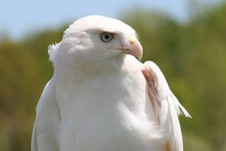 Leucismo uccelli