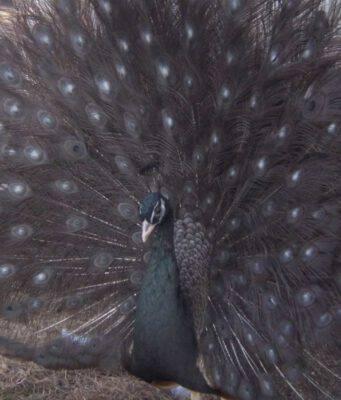 Colori anormali negli uccelli: un pavone
