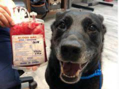 cane donato sangue