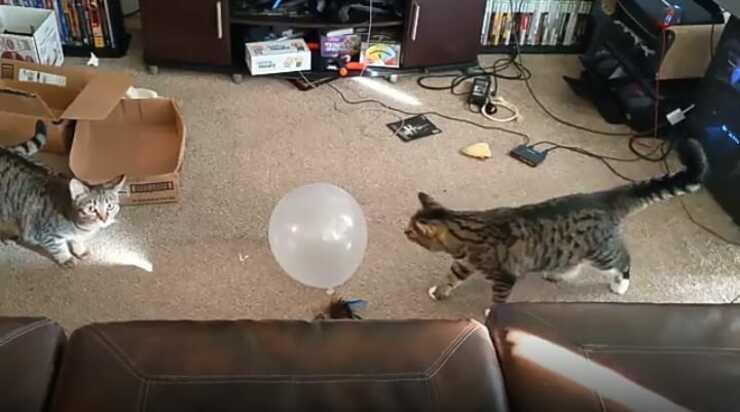 La sfida dei gatti (Foto video)