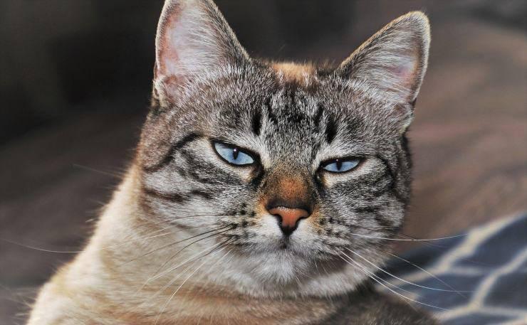 acromegalia nel gatto