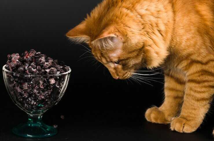 Il gatto può mangiare il mirtillo? (Foto Adobe Stock)