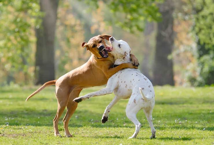 se i cani non vanno d'accordo (Foto Adobe Stock)