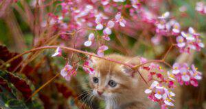 Avvelenamento da begonia nel gatto (Foto Adobe Stock)