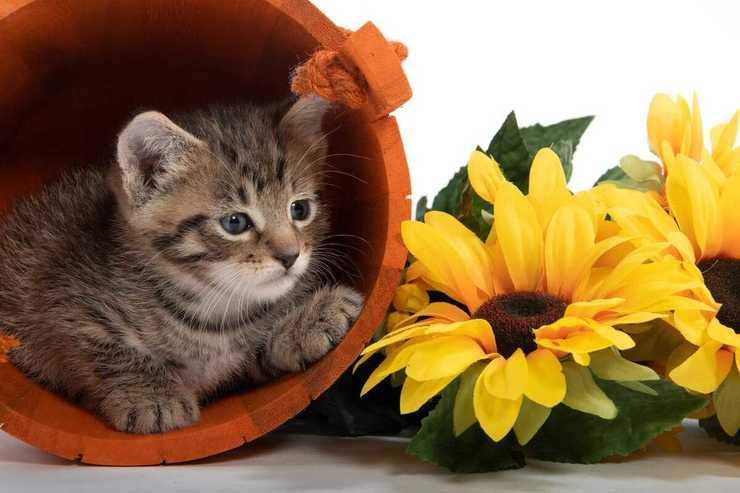 Il gatto può mangiare semi di girasole? (Foto Adobe Stock)