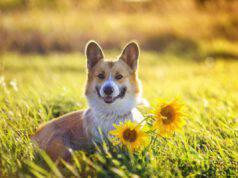 Il cane può mangiare semi di girasole? (Foto Adobe Stock)