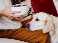 Il cane può mangiare il lampone? (Foto Adobe Stock)