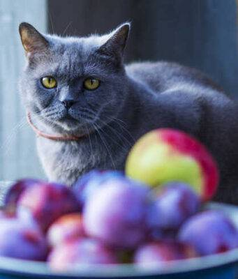 Avvelenamento da prugne nel gatto (Foto Adobe Stock)