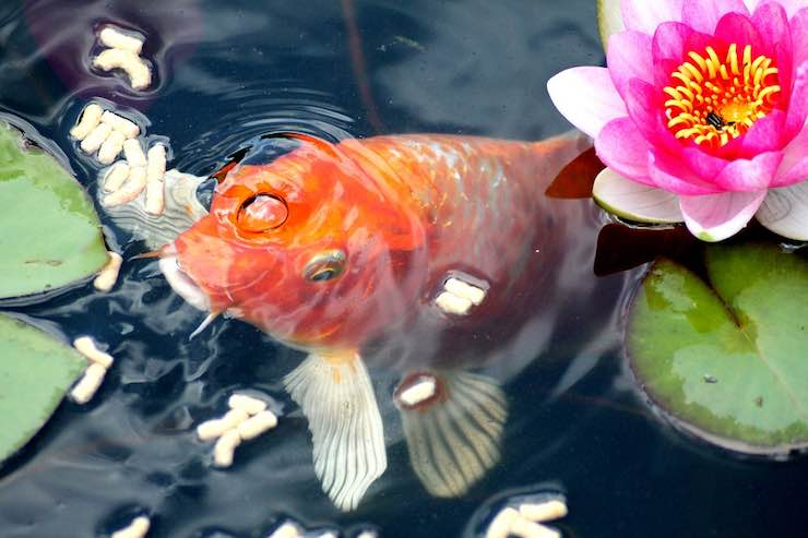 cibo per pesci