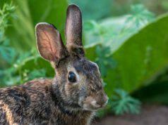 Il coniglio in primo piano (Foto Pixabay)