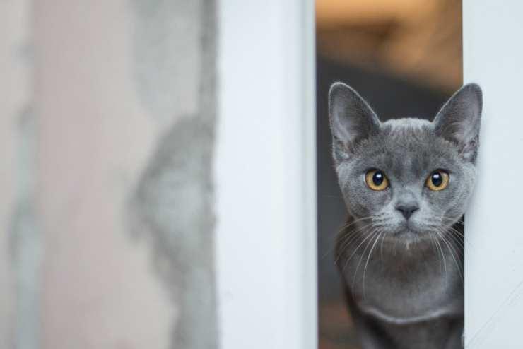Il gatto grigio (Foto Pixabay)