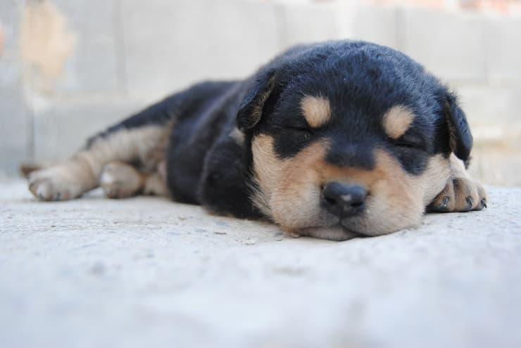 Cucciolo che dorme (Foto Piaxabay)