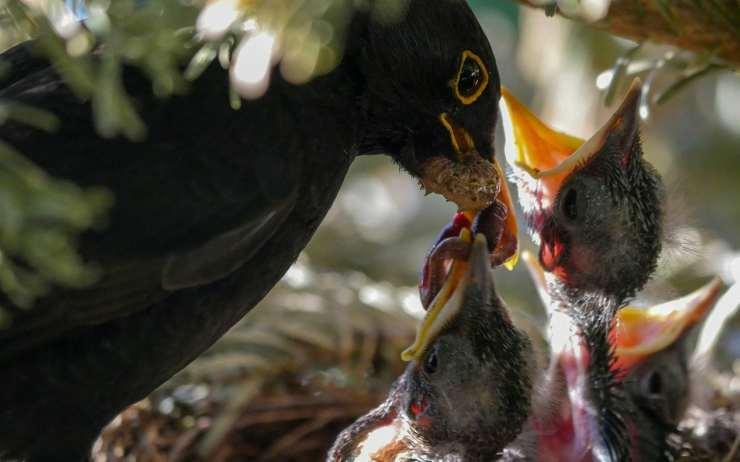 Uccelli nutriti dalla madre (Foto Pixabay)