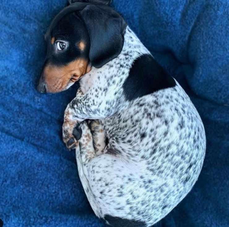 cane bassotto maculato