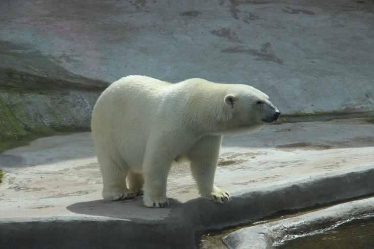 L'orso nello zoo (Foto Pixabay)