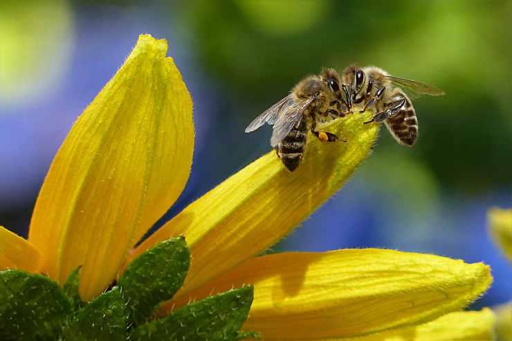 Le api sul fiore giallo (Foto Pixabay)