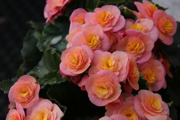 Begonia (Foto Pixabay)