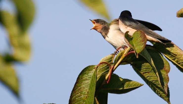 Uccellini di rondine (Foto Pixabay)