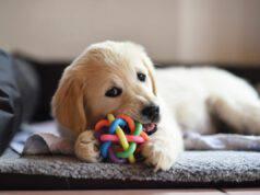 Alimenti per stimolare l'intelligenza del cane