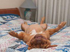 Perché il cane dorme a pancia in su