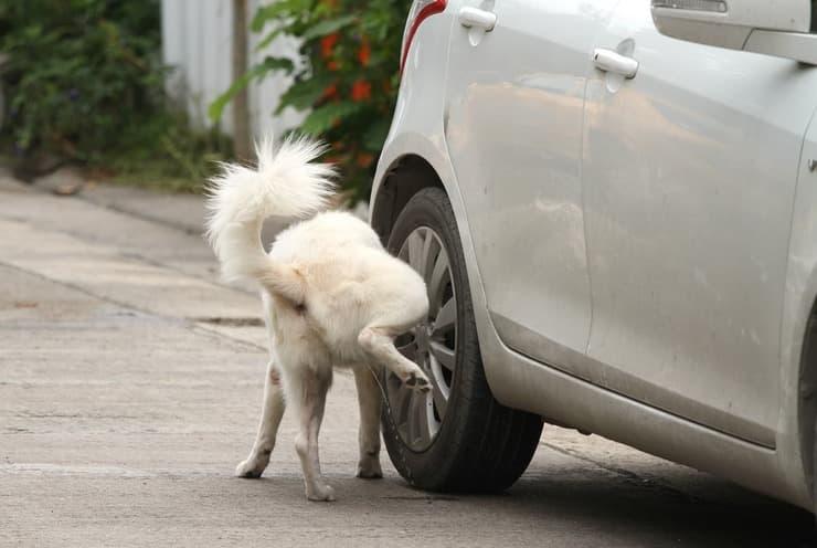 Cosa rischio se il cane fa pipì per strada (Foto Adobe Stock)