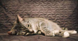 Miastenia grave nel gatto