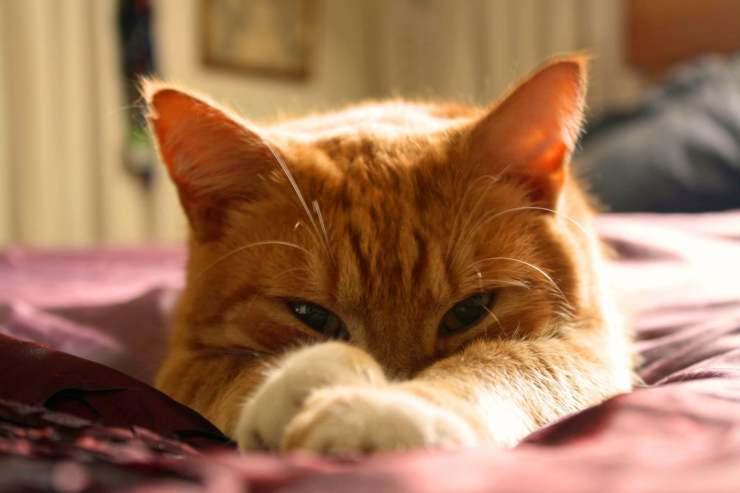 Il micio infastidito (Foto Pixabay)