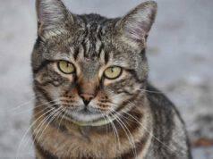 Cosa rischia chi investe un gatto e scappa (Foto Pixabay)