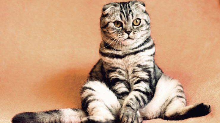 Il gatto fa pipì
