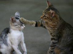 I gatti giocano o litigano
