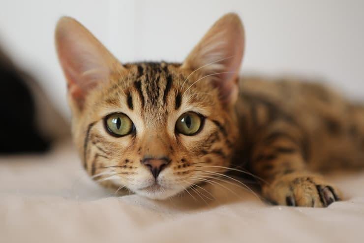 Gatto che miagola in condominio (Foto Adobe Stock)