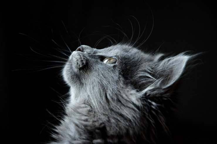 Il gatto speranzoso (Foto Pixabay)