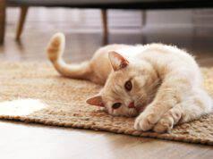 come calmare una gatta in calore