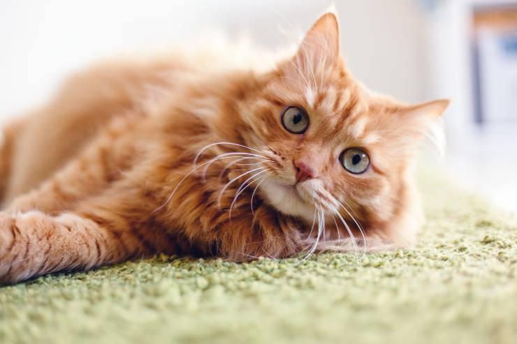 come migliorare la pelle del gatto