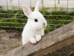 Il coniglio vomita