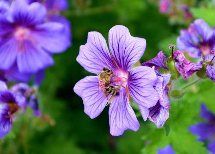 L'ape sul fiore lilla (Foto Pixabay)
