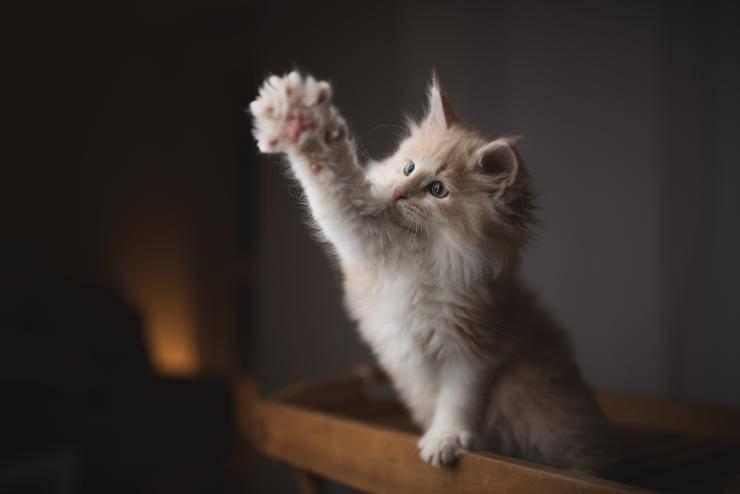 curiosità sulle zampe del gatto
